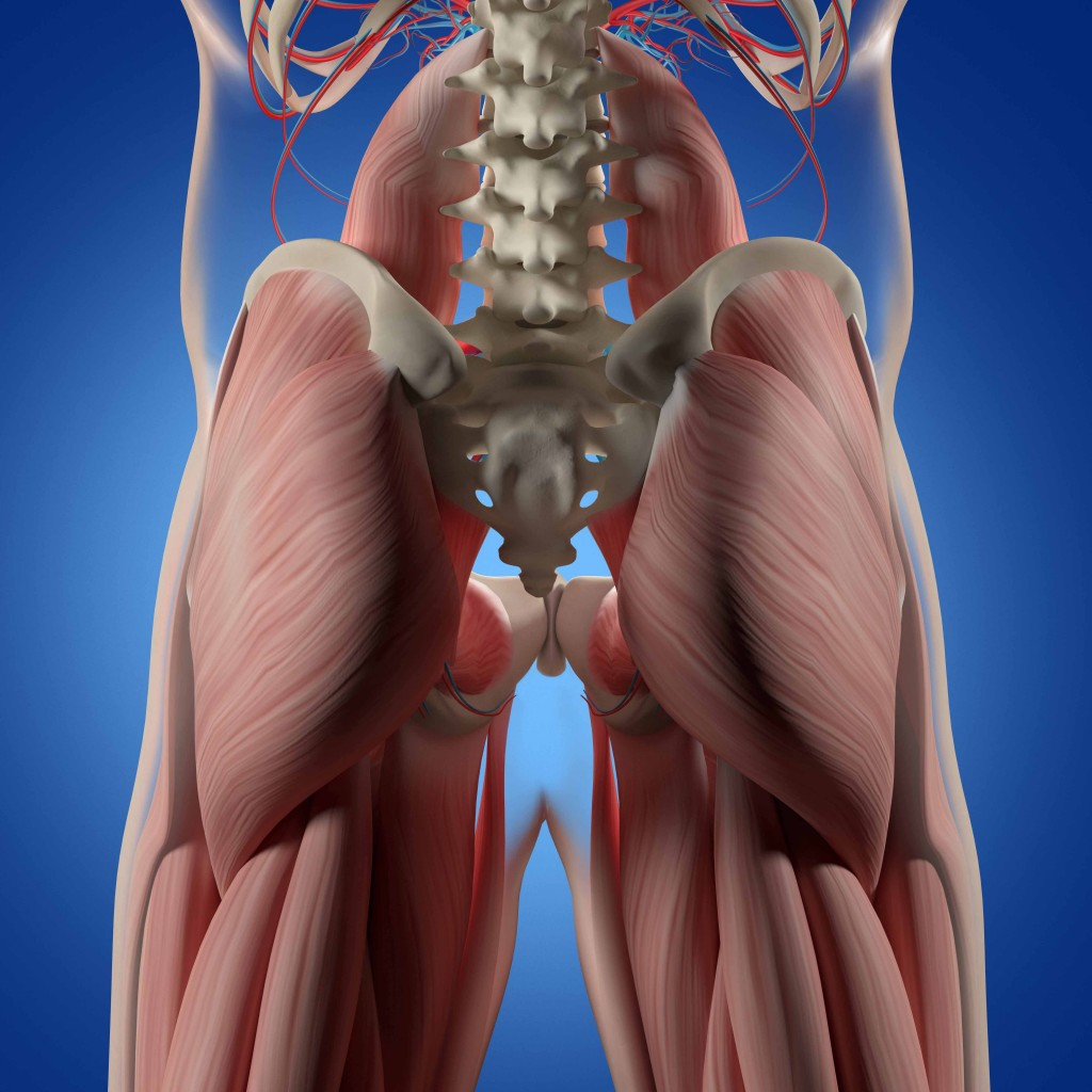 Human anatomy, spine, pelvis and gluteus maximus. 3d illustration.
